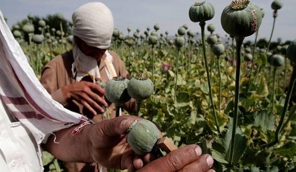 درآمدزایی داعش از مزارع خشخاش موصل و رقه و ترانزیت آن به اروپا