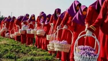 وزارت زراعت: تولیدات زعفران در سال جاری ۲۲ درصد افزایش داشته است
