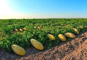افزایش ۲۰ درصدی حاصلات خربوزه در بلخ